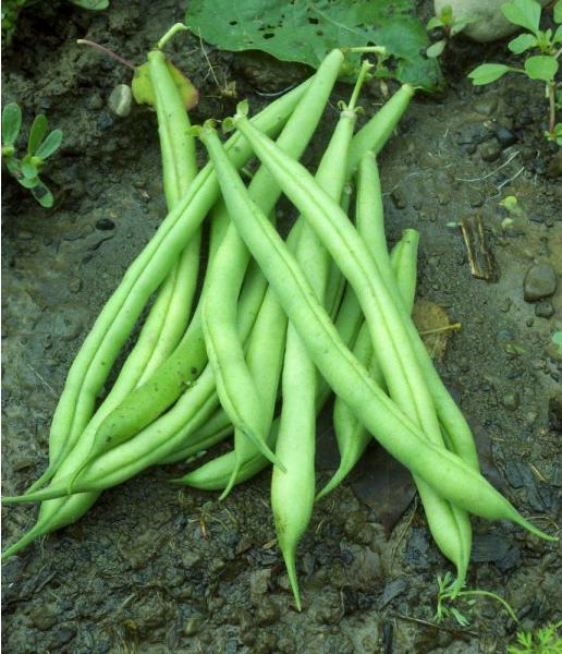 Bean : Bush