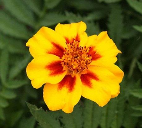 Flower : Marigold