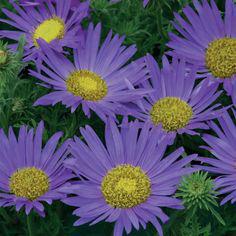 Flower : Prairie Aster