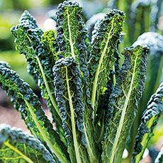 Image of Kale Lacinato