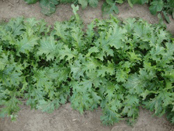 Image of Mustard Greens