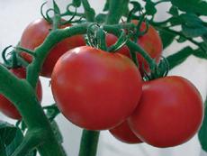 Tomato : Slicing